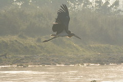 Lesser Adjutant Stork (?)