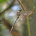 Swift / Georgia river cruiser - male (Macromia illinoiensis georgina)