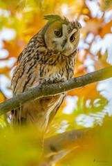 Waldohreule Herbstzauber (normen.nikon) Tags: d4 nikon 200500 eule wald baum natur wildlife tiere vögel bird owl