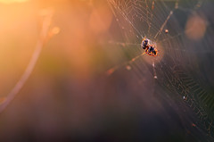 Last catch (Pásztor András) Tags: d5100 dslr nikon andras pasztor photography spider web sunset macro detailed 50mm f18g lens gear