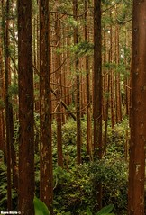 Inner alignment (Mauro Hilário) Tags: forest faial woods woodland cedar cryptomeria japonica beautiful green brown line vertical trees azores nature scenery