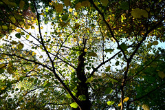 1PRO_4307 (Radu Pavel) Tags: radu radupavel pavel fotononstop cosmos ©radupavelallrightsreserved ©radupavelallerechtevorbehalten ©radupaveltodoslosderechosreservados ©radupavel版権所有 nature natur naturaleza 自然 colours farben colores 色 yellow gelb amarillo 黄 green grün verde 緑 autumn herbst otoño 秋 tree baum árbol 木 leaves blätter hojas 葉 outdoor alairelibre imfreien ルーマニア world welt mundo 世界 light licht luz 光 dream traum sueño 夢 2019
