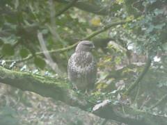 Buzzard (Thomas Kelly 48) Tags: panasonic lumix fz82 cheshirering cheshire canal sparrowhawk anderton