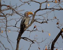 My old stalwart (leendert3) Tags: leonmolenaar southafrica krugernationalpark wildlife wilderness wildanimal nature naturereserve naturalhabitat bird southernyellowbilledhornbill coth5 sunrays5