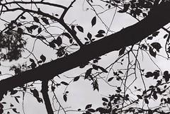 筆一閃 (Architecamera) Tags: monochrome blackwhite blackandwhite snap filmphoto bw tree