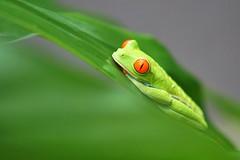 Red-eyed tree frog (juanita nicholson) Tags: frog amphibian treefrog red orange eyes orangeeyed costarica arenal wildlife wild outdoors nature outside green leaf ngysaex