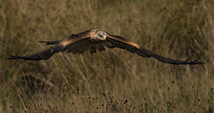 Under the Radar (Ann and Chris) Tags: awesome birdofprey beautiful low flying close hunting hunt impressive incoming kite redkite majestic stunning wild wings
