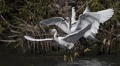 False Start (Ann and Chris) Tags: adorable birds waterbirds egret littleegret flying egrets rutlandwater rutland white wild wings waterbird wildlife little
