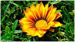 Recibiendo (Claudio Andrés García) Tags: flores flowers nature naturaleza jardín garden fotografía photography primavera springs yellow amarillo cybershot