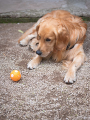 GFX2188 - Pallina (Diego Rosato) Tags: fuji gfx50r fujinon gf110mm rawtherapee pallina ball cane dog animale animal pet golden retriever disney