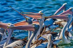 A Passel of Pelicans (David Hamments) Tags: bird pelicans theentrance pelicanfeeding centralcoast nsw fantasticnature flickrunitedaward