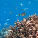 Damselfish and Coral
