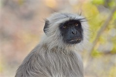 """""""We Ran Out of Napkins"""" (The Spirit of the World ( On and Off)) Tags: monkey primate india rajasthan bokeh wildlife wildlifeportrait asia nature langur gray graylangur portrait sideoftheroad"""