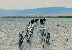 Sea terns and cormorans (JaaniicB) Tags: canon eos tamron sea tern cormorand bulgaria pomorie birds water lake salt 77d 70300 di vc usd