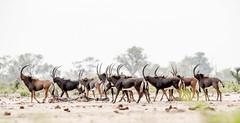 Sable Antelope (Thomas Retterath) Tags: 2013 africa afrika allrightsreserved animals bovidae copyrightthomasretterath herbivore hippotragusniger hwange littlemakololo mammals pflanzenfresser rappenantilope sableantelope safari simbabwe säugetier thomasretterath tiere wildlife zimbabwe ngc sunrays5 coth5