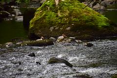 19LAK190 Goosanders, River Rothay between Grasmere and Rydal Water (bentolley1) Tags: england cumbria lakedistrict river water rock animal bird goosander