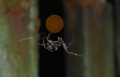 Their Midnight Jungle (Robin Shepperson) Tags: spider web urban night bokeh eyes red green wildlife bug bugs nature orbweaver berlin germany nikon d3400 kitlens 1855mm fear scary rust deustchland arachnid midnight outside dark light macro closeup orange