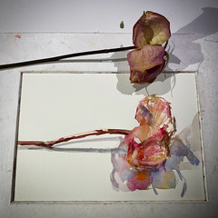Day 1539.  The #rose #painting for today. #watercolour #watercolourakolamble #sketching #stilllife #flower #art #fabrianoartistico #hotpress #paper #dailyproject (akolamble) Tags: rose painting watercolour watercolourakolamble sketching stilllife flower art fabrianoartistico hotpress paper dailyproject