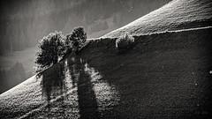 The Light is there... (Ody on the mount) Tags: blackwhite bäume dolomiten em5ii landschaft licht lichteinfall lichtstimmung mzuiko40150 omd olympus pflanzen urlaub bw blackandwhite landscape light monochrome sw schwarzweis tree
