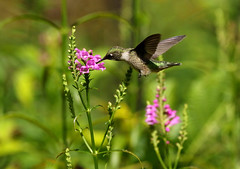 Lovin The Flowers (Diane Marshman) Tags: rubythroated hummingbird small bird green upper back head tail feathers white throat dark wings large black beak hovering action motion movement purple obedient flowers tall perennial plant garden landscape summer pa pennsylvania nature wildlife blooms blossoms flower