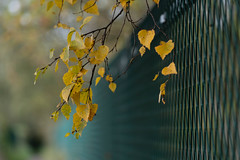 HFF 2 (jillyspoon) Tags: harrogate hff happyfencefriday fence fencefriday fencedfriday greenfence autumn autumncolours autumnal overhanging sof depthoffield wire wirefence leaves autumnleaves dof sony sonya7iii sonyalpha sony85mm