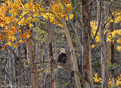 Bald Eagle, Fall Color  -  Inyo National Forest  (2019) (David L. Hoffman) Tags: baldeagle autumn fallcolor inyonationalforest easternsierranevada avian