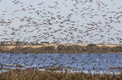 Mixed Ducks (Paul..A) Tags: mixed ducks duck birdinflight birdsinflight inflight teal wigeon scotland