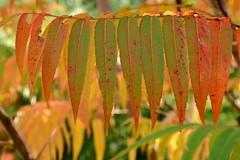 DSC_2500 (griecocathy) Tags: macro feuille branches végétations orange vert jaune saumoné brun rouge