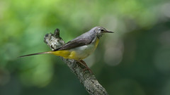 a grey wagtail in a tree (Franck Zumella) Tags: wagtail yellow bergeronnette jaune riviere chute eau water bird oiseau nature animal wildlife blanc gris grey white portrait cascade iso high