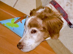 The Party's Over (Mark A. Morgan) Tags: camarillo california murphy dog markamorgan americanbrittany 15yearsold