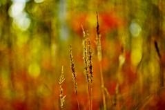Autumn grass (Stefano Rugolo) Tags: stefanorugolo pentax k5 pentaxk5 m42 helios44258mmf2 helios442 helios manualfocuslens manualfocus manual autumn grass bokeh forest