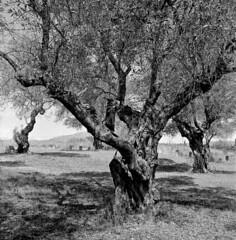 Oliveres a La Salut (SBA73) Tags: catalunya catalonia vallès sabadell film filmphotography filmisnotdead ilford hp5 rolleiflex rolleiflex35f 6x6 tlr carlzeiss planar formatmitjà lasalut oliveres olivos olives trees landscape