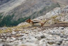 Golden-mantled Ground Squirrel (euansco) Tags: icefields parkway athabasca mountain mount canada jasper banff national park alberta snow ice glacier wild nature adventure summer 2019 wildlife golden mantled ground squirrel