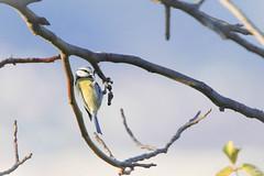 Mésange-8835 (gingkojac) Tags: 5èmemois animal oiseaux passereau mésange ornithologie 365mois5day4