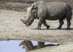 Rhino meets the water (CapMarcel) Tags: rhino meets water