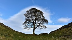 The Sycamore Gap tree is one of most photographed in the country. It stands in a dramatic dip in Hadrian's Wall in the Northumberland National Park. (Glenn Birks) Tags: the sycamore gap tree is one most photographed country it stands dramatic dip hadrian's wall northumberland national park