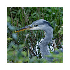 Heron hunting (prendergasttony) Tags: heron bird birdwatching border birding nature nikon d7200 tonyprendergast elements wildlife portrait