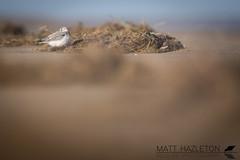 Sanderling (Matt Hazleton) Tags: sand sanderling wader canon canoneos7dmk2 canon100400mm eos 7dmk2 100400mm calidrisalba bird beach coast shore shorebird sea wildlife nature animal outdoor matthazleton matthazphoto rspb rspbtitchwellmarsh titchwell titchwellmarsh norfolk