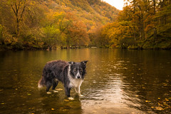43/52 My Place (JJFET) Tags: 43 52 weeks for dogs paddy border collie autumn fall borrowdale sheepdog dog