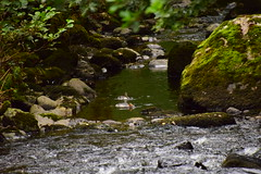 19LAK189 Goosanders, River Rothay between Grasmere and Rydal Water (bentolley1) Tags: england cumbria lakedistrict river water rock animal bird goosander