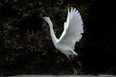 As light a s a feather (Paul wrights reserved) Tags: egret egrets bird birding birds birdwatching birdinflight balance tiptoe ballet