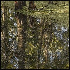 Lake Woodruff NWR #6 2019; Reflection (hamsiksa) Tags: ecosystems florifaecosystems swamps cypressswamps wetlands water reflections abstraction abstract nature naturalsystems subtropical plants flora aquatics floating lakewoodruff volusiacontyflorida