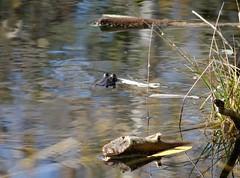 Friday's frog (EcoSnake) Tags: americanbullfrog lithobatescatesbeianus frogs amphibians october warm water idahofishandgame naturecenter