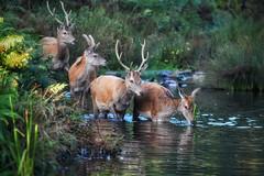 Deer crossing the stream! (Nina_Ali) Tags: deer animals wildlife bradgatepark autumn2019 reddeercrossingstream water nature fauna leicestershire