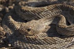 Mohave Rattlesnake (DevinBergquist) Tags: mohaverattlesnake mojaverattlesnake mohavedesert mojavedesert desert rattlesnake crotalus crotalusscutulatus az arizona herping fieldherping wildlife nature