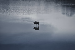 Moose Reflection (Bernie Emmons) Tags: moose lake medicinelake alberta jaspernationalpark canada reflection