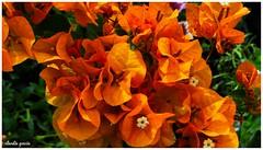 Agrupamiento (Claudio Andrés García) Tags: flores flowers naturaleza nature plantas plants fotografía photography octubre october primavera springs orange cybershot