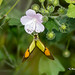 Yellow Orange Tip Defying Gravity - With Proboscis in the Flower