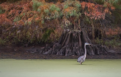 Great Blue Heron (Bernie Kasper (6 million views)) Tags: art berniekasper color colour baldcypress cypesstree d750 evening family fall fun hiking indiana greatblueheron light landscape leaves leaf love madisonindiana nature nikon naturephotography new nwr national nikkor outdoors outdoor old outside photography plant park photos plants photo people raw red orange travel tree trees unitedstates usa water
