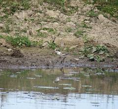 Erythrogonys cinctus (mncbirds) Tags: freemans reach windsor the hawkesbury nsw australia barry m ralley barrymralley ausbird ausbirds erythrogonys cinctus redkneed dotterel